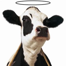 Goedgelovig-koe
